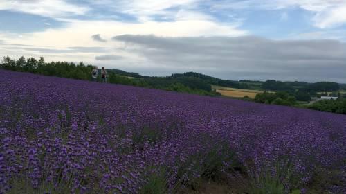 富良野のラベンダー畑